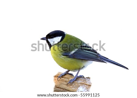 Great tit in snow, isolated