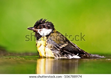 Great tit in the water