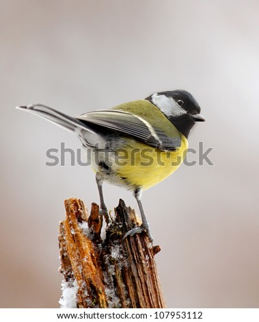Great tit in winter, Bavaria