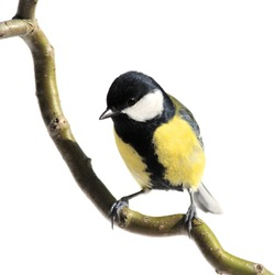 great tit on a branch, on white