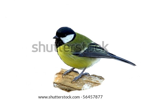 Great tit on a snowy branch, isolated