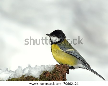 Great tit on a snowy, mossy stump
