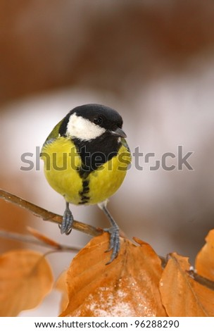 Great tit on a winter-branch 1.