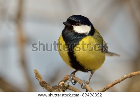 great tit on branch (parus major)