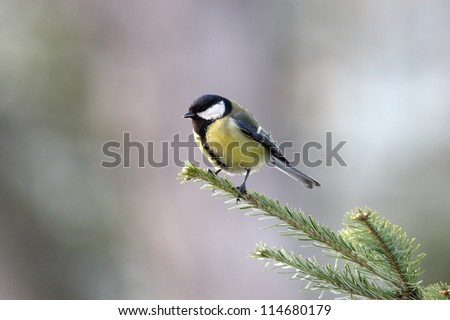 Great tit on fir branches