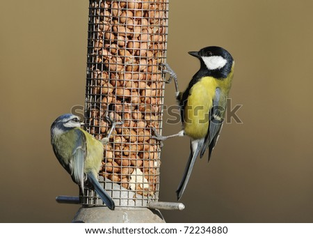 Great Tit - Parus major and Blue Tit - Parus caeruleus on peanut feeder
