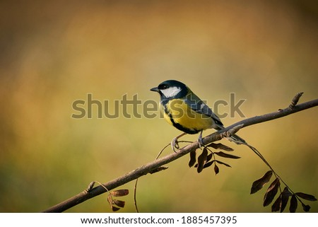 Photo of  Great Tit, Parus major, black and yellow songbird sitting on the nice lichen tree branch, Songbird in the nature habitat. Cute blue and yellow songbird in winter scene,