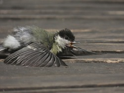 Great tit (Parus major) chick sun bathing on a wooden bridge during a sunny hot day. Concept of global warming, heat waves and wildlife and birds during warm periods. Cute baby bird sunning.