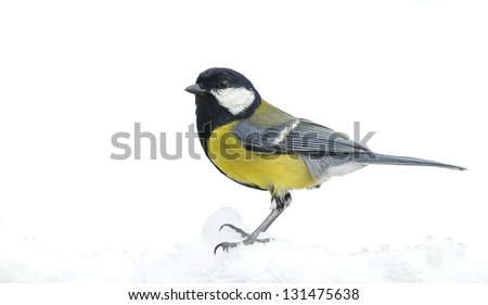 Great tit, Parus major in the snow.