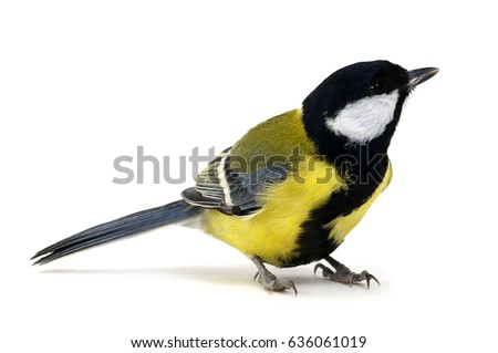 great tit, Parus major, isolated on white Сток-фото ©