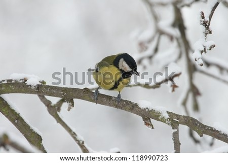 Great Tit (Parus major) on a branch - winter.