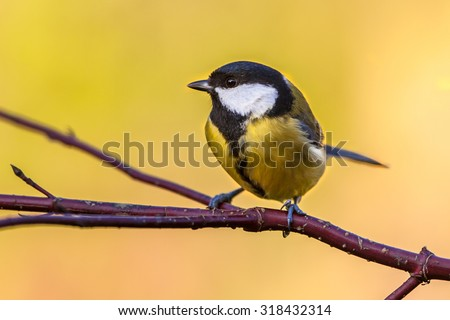 Great tit (parus major) on a branch with autumn colors background as a concept for fall