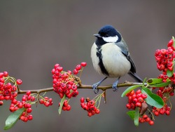 Great tit, Parus major, single bird on berries, Warwickshire, December 2020