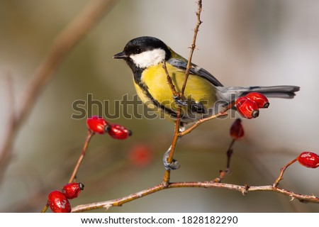 Great tit, parus major, sitting on rosehip in autumn nature. Colorful bird looking around from bush with red berries in fall. Small yellow feathered animal resting on tiny twig. stock photo