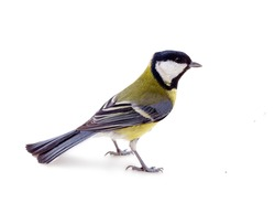 Great tit (Parus major), titmouse oxeye in breeding plumage on white background close up, perky bird spring, feeding birds (all creatures great and small)