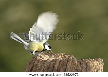 Great Tit (Parus major) with moving wings in motion blur on a log