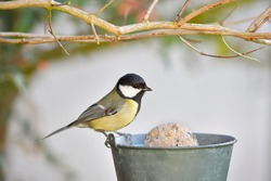 Great tit (Parus major) yellow bird with black cap and white cheeks perched on pot filled with bird food in the garden in winter, Europe