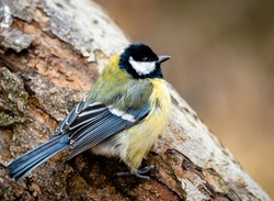 Great tit sitting on a tree rumpled feathers. Cute little birdie with black, white and yellow feathers in winter. Portrait of a titmouse with gaudy plumage with blurry background