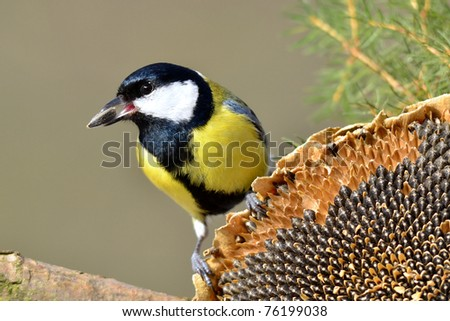 great tit with seed in beak - stock photo