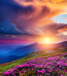 Great view of the magic pink rhododendron flowers on summer mountain. Dramatic overcast sky before the storm. Carpathian, Ukraine, Europe. Beauty world.