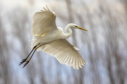 Great white Egret (Ardea alba) flying at Lake Csaj, Kiskunsagi National Park, Pusztaszer, Hungary. February. It is a large, widely distributed egret, with four subspecies.