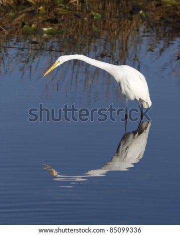 Great White Egret (Ardea alba) in the Florida Everglades