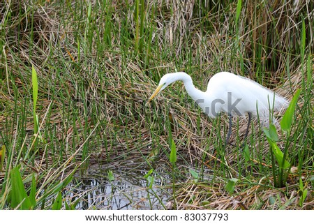 Great White Egret (Ardea alba), waiting to catch diner in the Florida Everglades