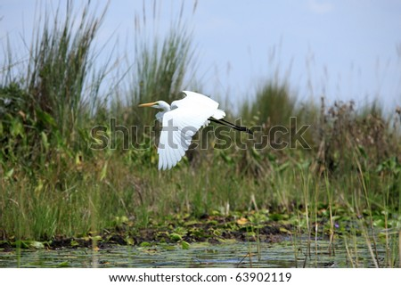 Great White Egret at the Lake Opeta in Uganda - The Pearl of Africa