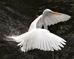 Great White Egret bird close-up profile view flying over water with spread wings with a water background displaying head, beak, eye, white feathers plumage in its environment and surrounding.