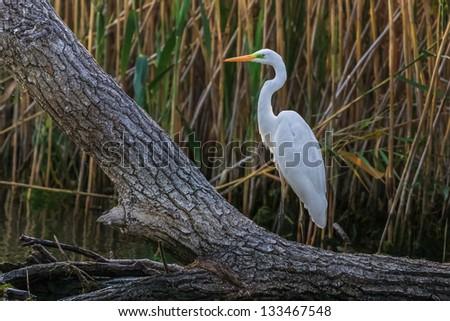 great white egret (Egretta alba) in Danube Delta, Romania