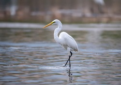 Great White Egret fishing on a lake