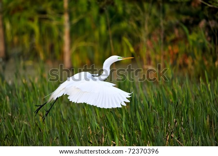 great white egret flying over florida wetland at dawn