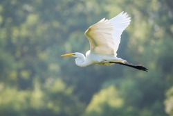 Great White Egret Flying to a new fishing location in soft focus