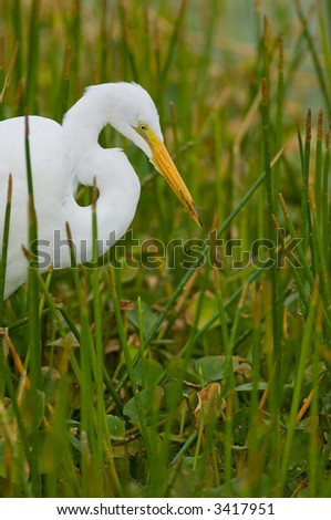 great white egret hunting for fish in florida wetland marsh