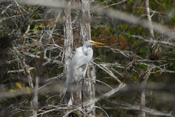 Great White Egret In Everglades National Park
