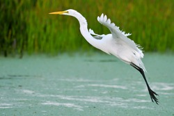 great white egret in flight over wetland pond with duckweed