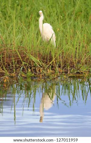 Great White Egret in Kakadu National Park
