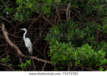 GREAT WHITE EGRET IN NATURAL HABITAT