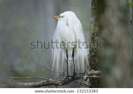 Great White Egret in Wedding Finery