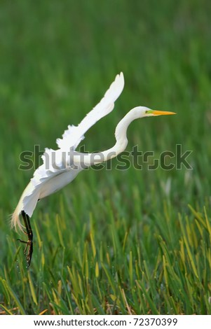 great white egret landing in grassy reeds of florida wetland at dawn