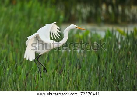 great white egret landing in grassy reeds of florida wetland at dawn