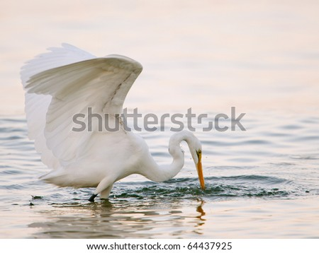 great white egret lunges to spear fish in morning surf on florida gulf coast