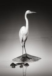Great white egret on Hippopotamus (Artistic processing)