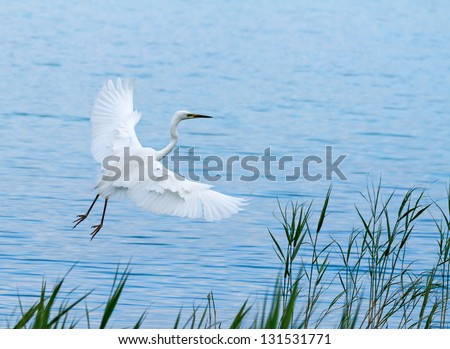 Great White Egret over the lake