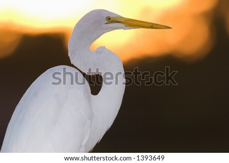 great white egret poses in everglades national park in florida at sunrise