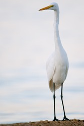 great white egret posing erect with florida gulf waters in background