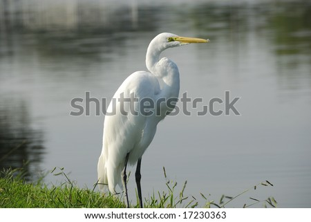 Great White Egret standing by shore