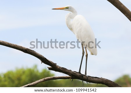 Great White Egret stands on the tree, Kakadu National Park