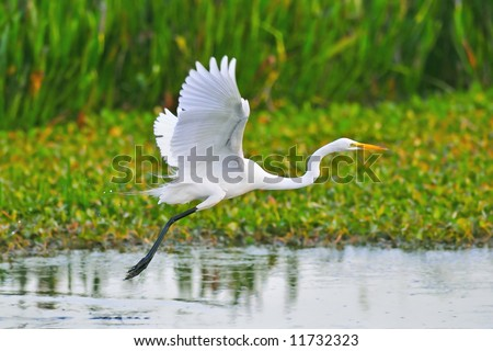 great white egret taking flight in wetland marsh