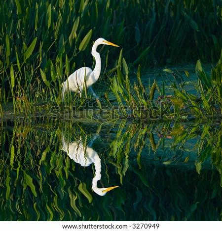 great white egret wades in florida wetland marsh pond
